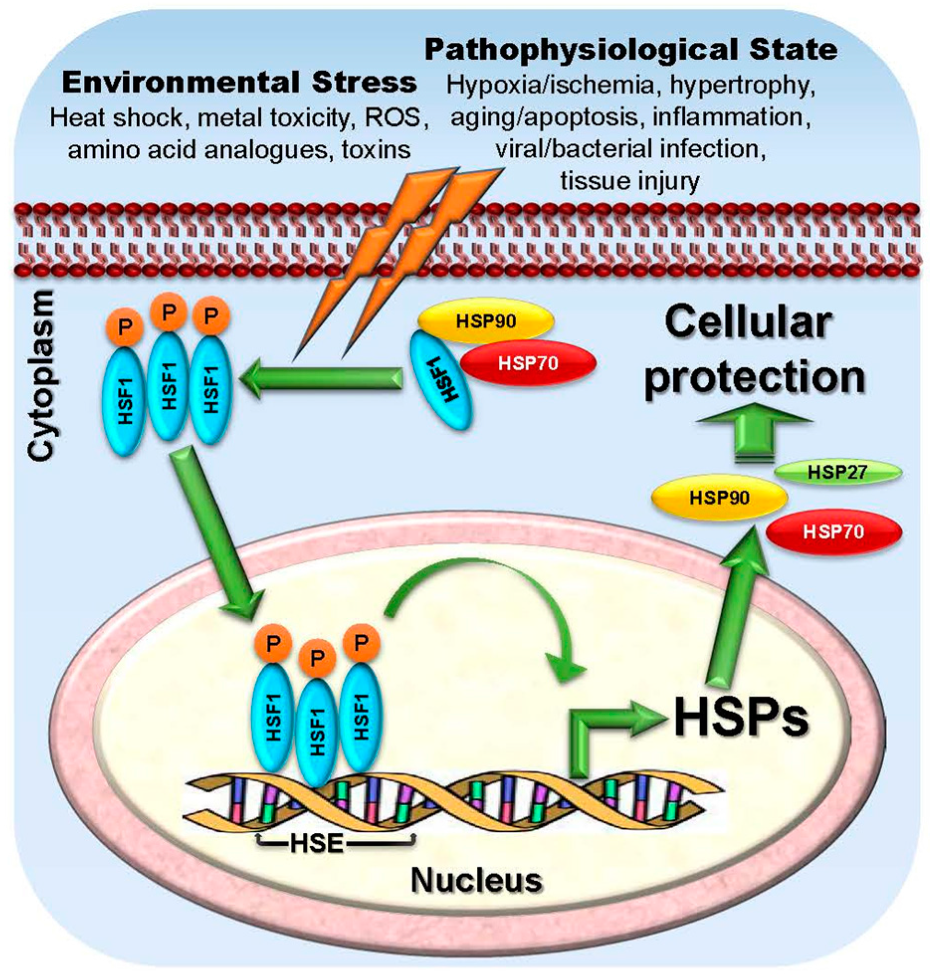 IJMS | Free Full-Text | Targeting Heat Shock Proteins in Cancer: A ...