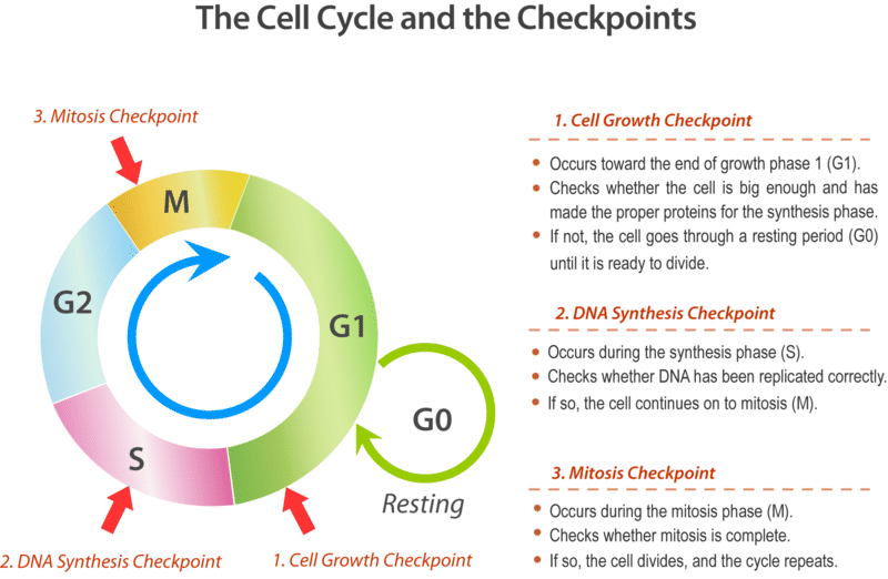 7.5: Cell Cycle Checkpoints - Biology LibreTexts