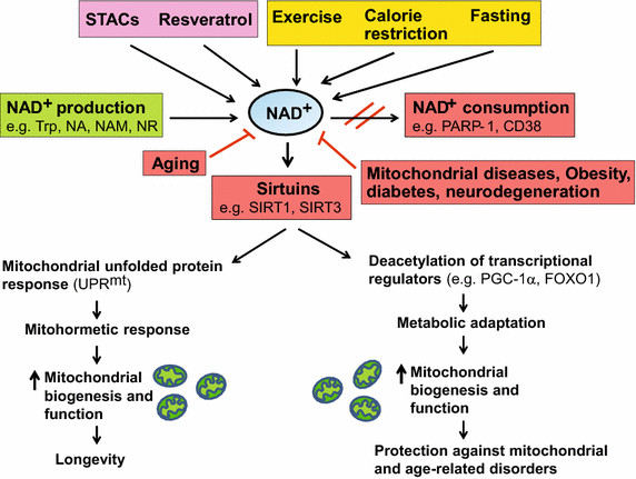 Boosting NAD+ levels is beneficial for health and lifespan. NAD+ is a... | Download Scientific Diagram