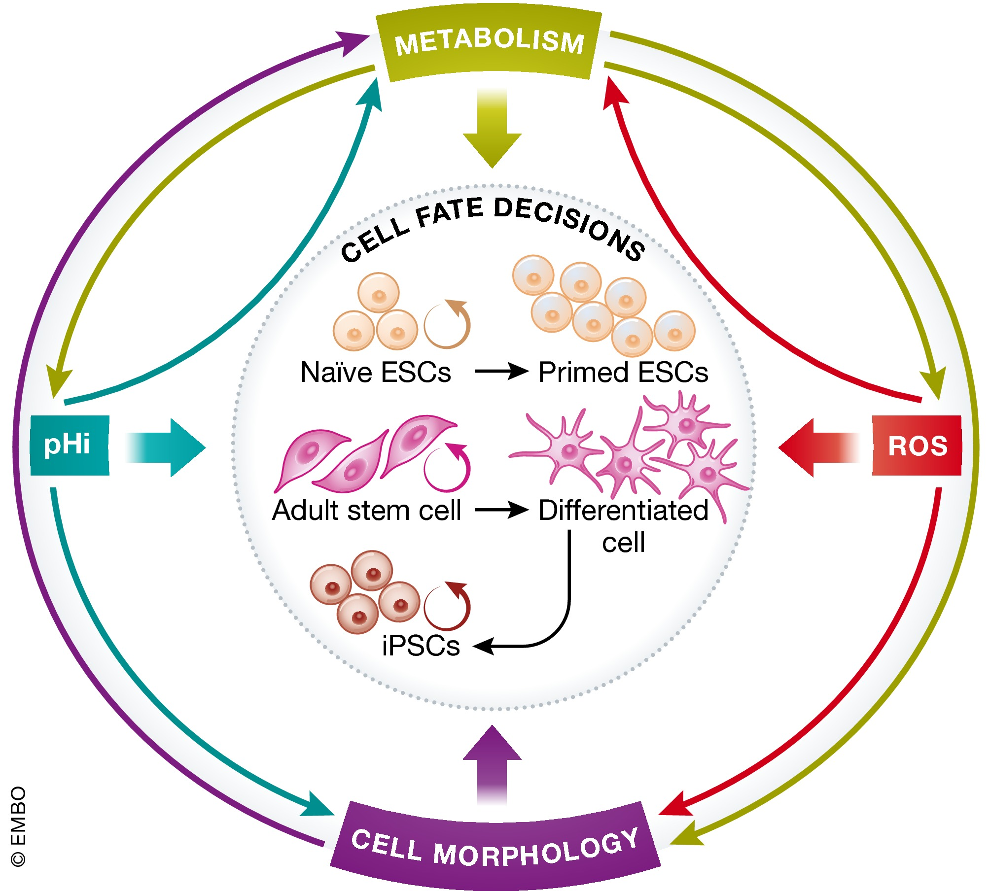 Cell fate decisions: emerging roles for metabolic signals and cell morphology | EMBO reports