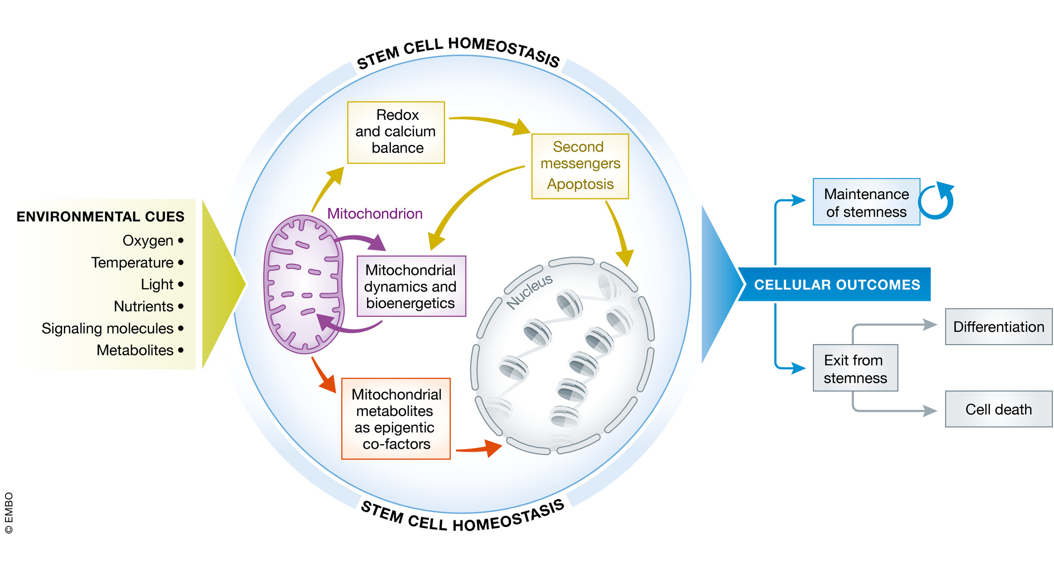 Mitochondria and the dynamic control of stem cell homeostasis | EMBO reports