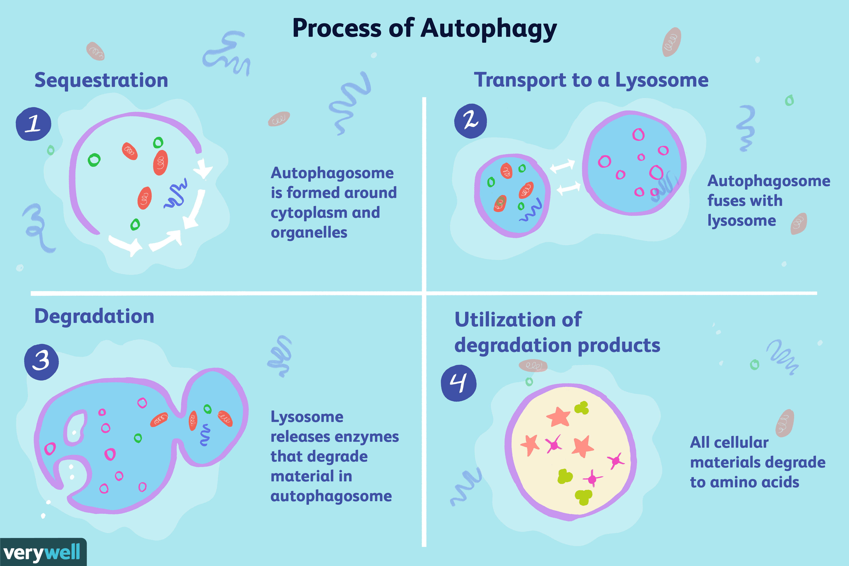 Process of autophagy