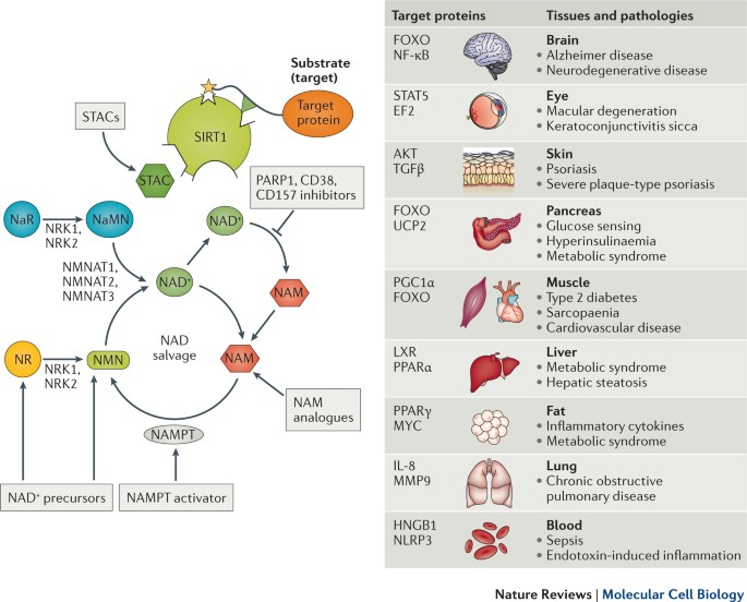 Slowing ageing by design: the rise of NAD + and sirtuin-activating compounds | Nature Reviews Molecular Cell Biology