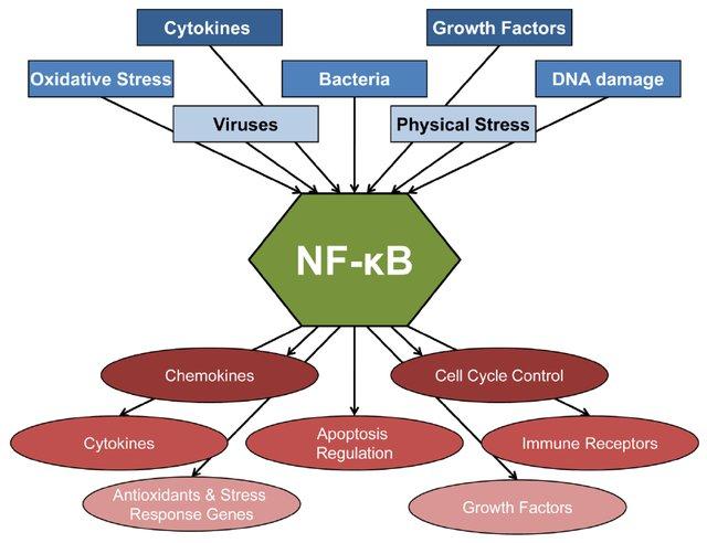 /var/folders/_f/jcwlsljs0fqc9nvcb4lpjggm0000gn/T/com.microsoft.Word/WebArchiveCopyPasteTempFiles/NF-kB-is-a-central-regulator-in-stress-response-The-NF-kB-signaling-pathway-can-be_W640.jpg