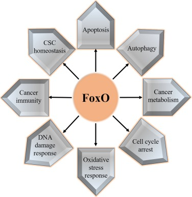 Image result for foxo proteins and anti aging