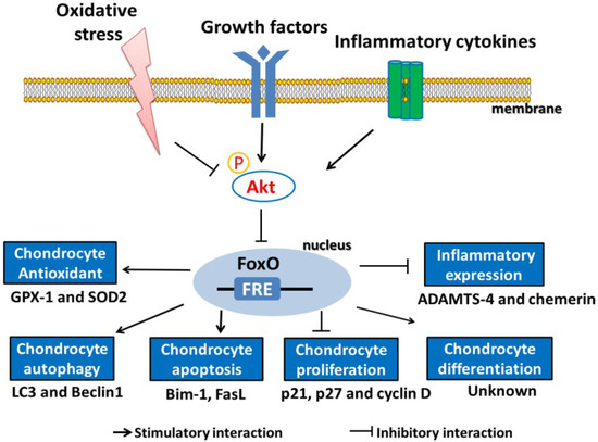 Image result for foxo proteins and osteoarthritis