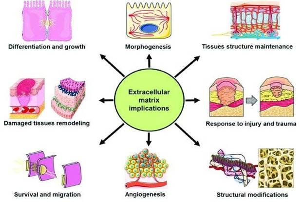 /var/folders/_f/jcwlsljs0fqc9nvcb4lpjggm0000gn/T/com.microsoft.Word/WebArchiveCopyPasteTempFiles/Example-of-extracellular-matrix-ECM-implications-The-extracellular-matrix-is-involved_W640.jpg