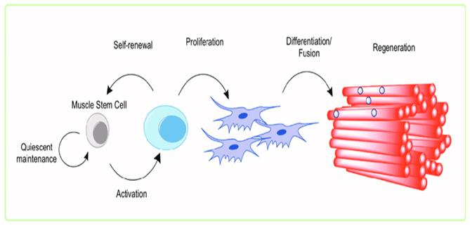 Activation of the Muscle Stem Cell. Adult, resident skeletal muscle... |  Download Scientific Diagram