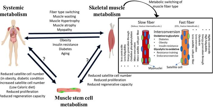 Frontiers | Adult Muscle Stem Cells: Exploring the Links Between Systemic  and Cellular Metabolism | Cell and Developmental Biology